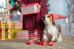 Hund Jack Russell Terrier och ben av lite flickan i röd vit arkivfoton