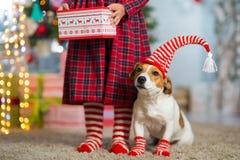 Hund Jack Russell Terrier och ben av lite flickan i röd vit royaltyfria foton