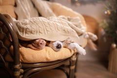 Hund Jack Russell Terrier och hund Nova Scotia Duck Tolling Retriever Lyckligt nytt år jul, husdjur i rummet jultren Royaltyfria Bilder