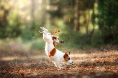 Hund Jack Russell Terrier springen über die Blätter stockbild