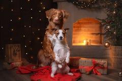 Hund Jack Russell Terrier und Hund Nova Scotia Duck Tolling Retriever Guten Rutsch ins Neue Jahr, Weihnachten Lizenzfreie Stockfotografie