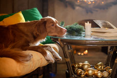 Hund Jack Russell Terrier und Hund Nova Scotia Duck Tolling Retriever Weihnachtsjahreszeit 2017, neues Jahr Stockfoto