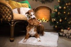 Hund Jack Russell Terrier und Hund Nova Scotia Duck Tolling Retriever Weihnachtsjahreszeit 2017, neues Jahr Stockfotos