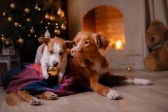 Hund Jack Russell Terrier und Hund Nova Scotia Duck Tolling Retriever Weihnachtsjahreszeit 2017, neues Jahr Lizenzfreie Stockfotos