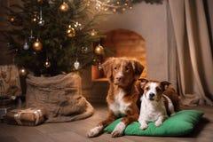 Hund Jack Russell Terrier und Hund Nova Scotia Duck Tolling Retriever Weihnachtsjahreszeit 2017, neues Jahr Stockfotografie