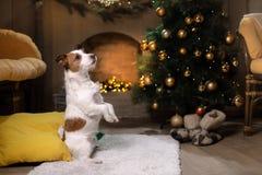 Hund Jack-Russell Weihnachtsjahreszeit 2017, neues Jahr, Lizenzfreies Stockbild