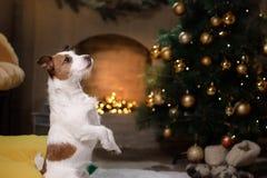 Hund Jack-Russell Weihnachtsjahreszeit 2017, neues Jahr, Lizenzfreie Stockfotos