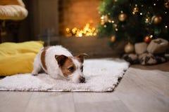 Hund Jack-Russell Weihnachtsjahreszeit 2017, neues Jahr, Lizenzfreie Stockfotografie