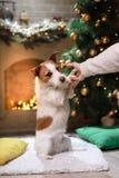 Hund Jack-Russell Weihnachtsjahreszeit 2017, neues Jahr, Stockfotografie