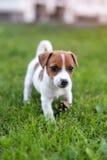 Hund Jacks Russell auf Graswiese Kleiner Welpe geht in den Park, Sommer Lizenzfreies Stockfoto