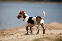 Hund Jacks Russell in der Natur Stockfotografie
