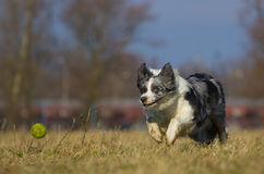 Hund jagt die Kugel lizenzfreies stockbild