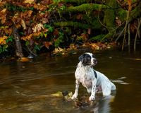 Hund in Johns-Nebenfluss stockfoto