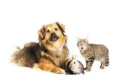 Hund, Katze und Kaninchen im Studio, weißer Hintergrund stockfotografie