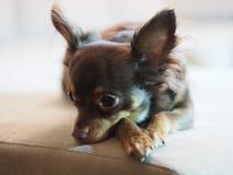 Hund klein Lizenzfreie Stockbilder