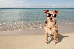 Hund kleine Fawn Beach Sea Sunglasses Lizenzfreie Stockfotos