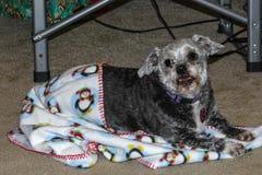 Hund, kleine Shih-tzumischung, ihre neue Weihnachtsdecke genießend Stockbild