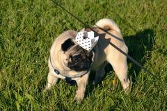 Hund-konung Ung mops-hund Ung driftig hund på en gå sun rolig framsida Hur man skyddar din hund från överhettning arkivfoto