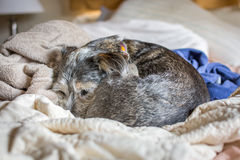 Hund kräuselte sich in Ball Stockfotos