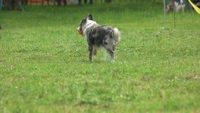 Hund läuft mit einem Ball stock video