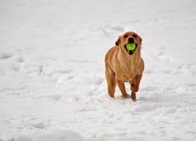 Hund läuft in Richtung zur Kamera mit einer Kugel in ihrem Mund Stockfotografie