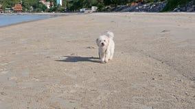 Hund läuft und bellt stock video