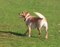 Hund/Labradoodl/korslabrador Poodl fotografering för bildbyråer