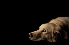 hund labrador Arkivfoto