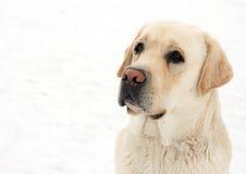 hund labrador Arkivbild