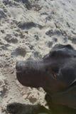 hund labrador fotografering för bildbyråer
