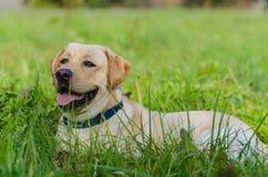Hund labrador, fullblod, hundpäls, djur, barn, brunt, guling, vit, guld som är härlig royaltyfri foto