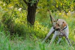 Hund labrador, fullblod, hundpäls, djur, barn, brunt, guling, vit, guld som är härlig arkivfoto