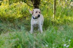 Hund labrador, fullblod, hundpäls, djur, barn, brunt, guling, vit, guld som är härlig fotografering för bildbyråer