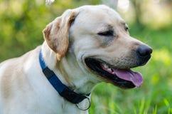 Hund labrador, fullblod, hundpäls, djur, barn, brunt, guling, vit, guld som är härlig royaltyfri bild