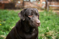 Hund, Labrador im Hinterhof, Haustiere, Tiere Stockbilder