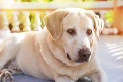 Hund labrador retriever som ner ligger främre hus royaltyfri fotografi