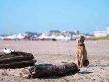 Hund Labrador sitzt auf dem Küstensand, der seine Eigentümerschuhe schützt lizenzfreie stockfotografie