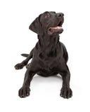 hund labrador som ser upp retrieveren Royaltyfria Bilder