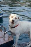 Hund Labradors Retrivier auf dem Boot im Sommer Lizenzfreie Stockfotos