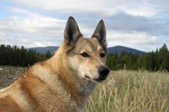 Hund Laika Lizenzfreies Stockfoto
