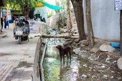 Hund in Leh Ladakh Lizenzfreies Stockfoto