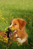Hund liegt auf einem Blumengebiet Lizenzfreie Stockbilder