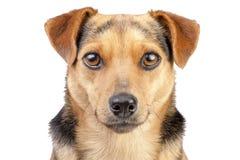 Hund lilla Fawn Looking Portrait Closeup Isolated Royaltyfri Bild