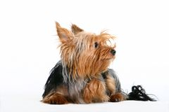 hund little Fotografering för Bildbyråer
