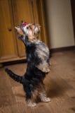 hund little Arkivfoto