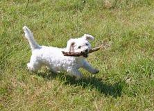 hund little som är vit Royaltyfri Bild