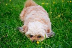 hund little som är vit Royaltyfria Bilder