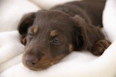 hund little som sovar Arkivbild
