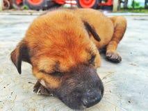 hund little som sovar Arkivfoton