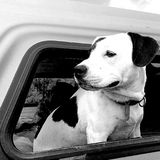 Hund, LKW, Fenster Stockfoto